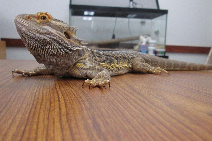 Bearded dragon livens up physics class