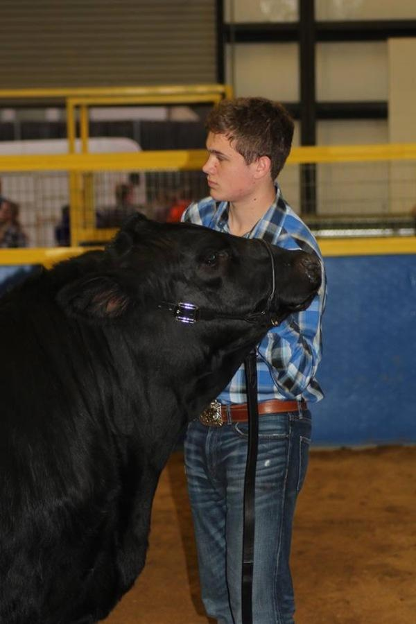 Senior Jacob Rickman shows his steer at the first livestock show of the year