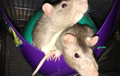 Math teacher Katy Seloff has had rats since 2012.